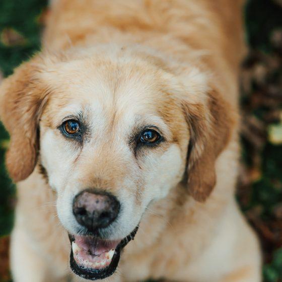 Ein alter Hund schaut in die Kamera